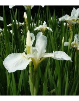 Iris sibirica 'Snow Queen' - bela sibirska perunika