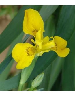 Iris pseudacorus - vodna perunika