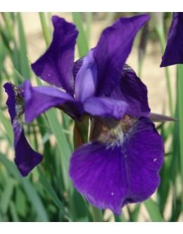 Iris sibirica 'Niklas Sea'-sibirska perunika
