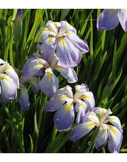 Iris ensata (kaempferi) 'Aquamarin' - pisana japonska perunika