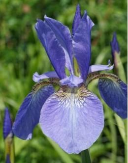 Iris sibirica 'My Lowe' - zgodnja sib.perunika