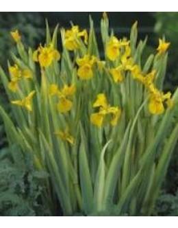 Iris pseudacorus 'Variegata' - pisanolistna vodna perunika