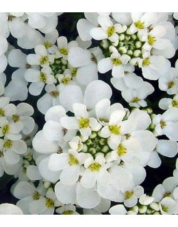 Iberis sempervirens 'Schneeflocke' - velikocvetni iberis