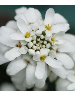Iberis sempervirens 'Grandiflora' - velikocvetni grenik