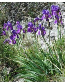 Iris illyrica - ilirska perunika