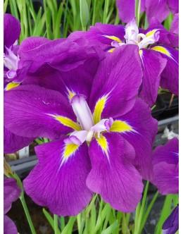 Iris ensata (kaempferi) 'Jocasta' - japonska perunika, širok cvet, sv.vijola