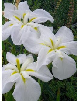 Iris ensata (kaempferi) 'Lace Ruff' - japonska perunika, širok cvet , bela