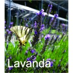 Dišeča sivka - lavandula