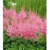 Astilbe - Dianthus (88)