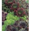 Sempervivum - Yucca (75)