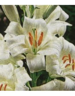 Lilium candidum - limbar, bela Alojzijeva lilija
