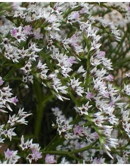 Limonium (goniolimon) tataricum - mrežica