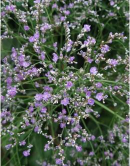 Limonium latifolium - mrežica