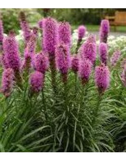 Liatris spicata 'Kobold' - nizki liatris