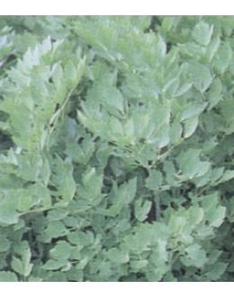 Levisticum officinale - luštrek