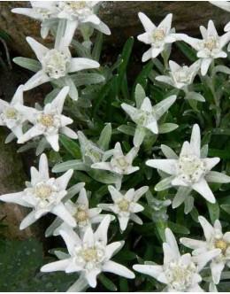 Leontopodium souliei - mala planika