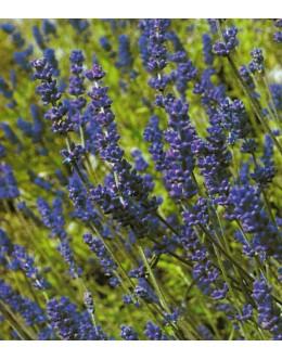Lavandula angustifolia 'Blue River' - lavandula, sivka