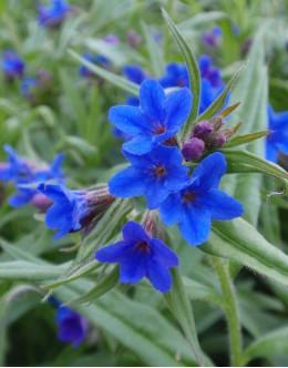 Lithospermum (Buglossoides) purpureo-caeruleum - pokrovnica, ptičje mleko, škrlatno modri železnik