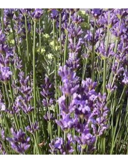 Lavandula angustifolia 'Blu Dwarf' - nizka lavandula, sivka