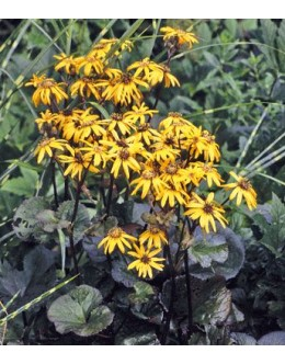 Ligularia dentata 'Midnight Lady' - ligularija s temnim listjem