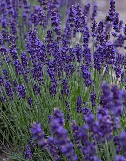 Lavandula angustifolia 'Lavance Purple' - zelo temno cvetoča sivka