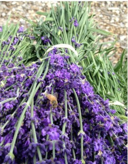 Lavandula intermedia 'Gross Blue' - za suho cvetje, sivka