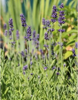 Lavandula angustifolia 'Blue Scent Early' - zgodaj cvetoča, nizka sivka