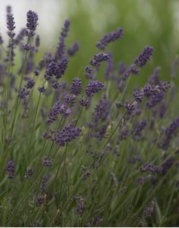 Lavandula angustifolia 'Ellagance Purple' - zgodaj cvetoča sivka