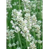 Lavandula angustifolia 'Ellagance Snow' - zgodaj cvetoča sivka