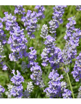 Lavandula angustifolia 'Blue Cushion' - sivo listje, dolgo cveti, nizka