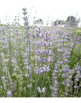 Lavandula intermedia 'Julien' - robustna, sv.modro cvetje na dolgih pecljih