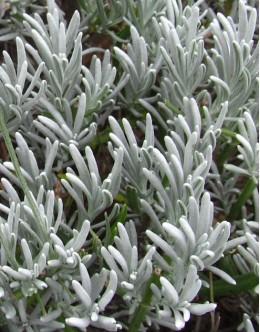 Lavandula intermedia 'Fragrant Memories' - zelo diši,  srebrna
