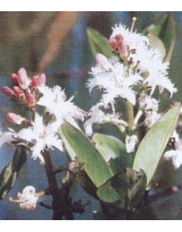 Menyanthes trifoliata - mrzličnik