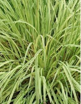 Molinia caerulea 'Variegata' - pisana stožka