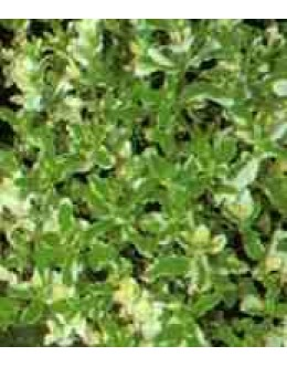 Mentha rotundifolia 'Variegata'-pisana meta