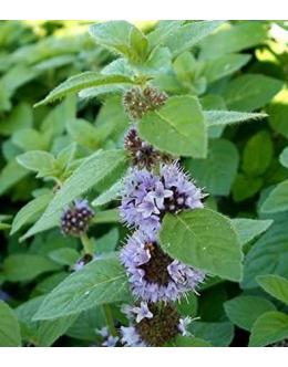 Mentha pulegium - polaj , odganja komarje
