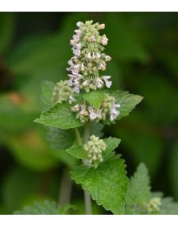 Nepeta cataria (vulgaris) - navadna mačja meta, zelo medi