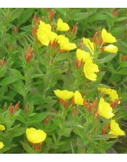 Oenothera tetragona - svetlin