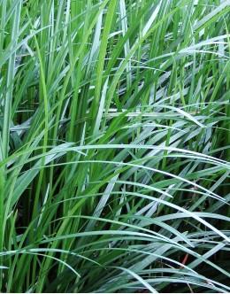 Ophiopogon japonicus - japonska šmarnica