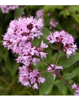 Origanum vulgare - dobra misel, origano, zelo medi