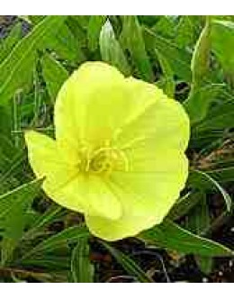 Oenothera missourensis (macrocarpa) - misurski svetlin