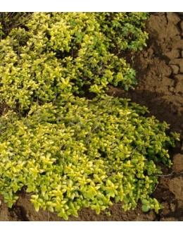 Origanum vulgare 'Aureum' - zlati origano