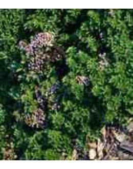 Origanum vulgare 'Repanda' - plazeči origano