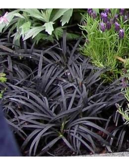 Ophiopogon planiscapus 'Nigrescens' - črnolistna japonska šmarnica