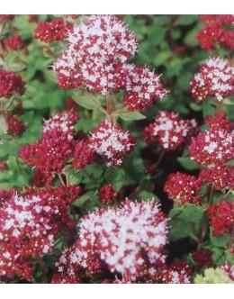 Origanum vulgare 'Zorba Red' - rdeča dobra misel, origano