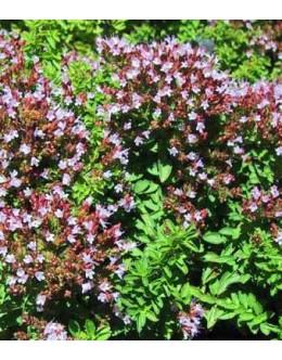 Origanum hortensis (O.vulgare hort.) - trajni majaron