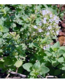 Origanum vulgare ssp. hirtum (heracleoticum) - grški, pica origano