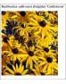 Cvetje v rumeni barvi (25 kvadratnih metrov - 18,7 EUR/m2)