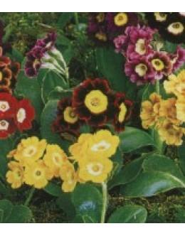 Primula x pubescens - vrtni avrikelj, primula