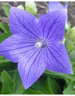 Platycodon grandiflorus 'Sentimental Blue' - pritlikavi zvončnik
